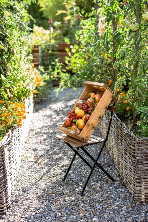 La saison des tomates au potager