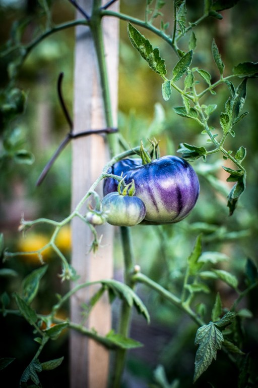 Tomates Blue Beauty Indigo - Magali ANCENAY