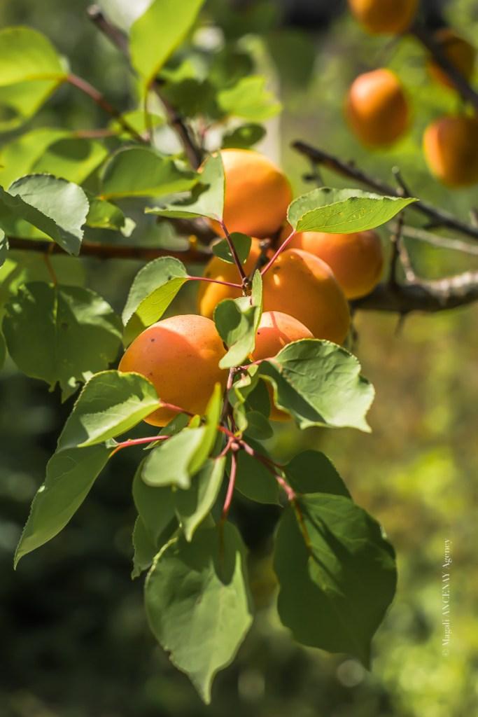 Abricot - Magali ANCENAY