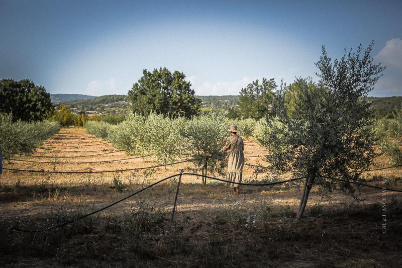 Jeune oliveraie du moulin Saint Augustin Oppède Luberon