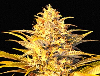 graine de cannabis- jack widow