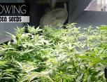 graine de cannabis - growing