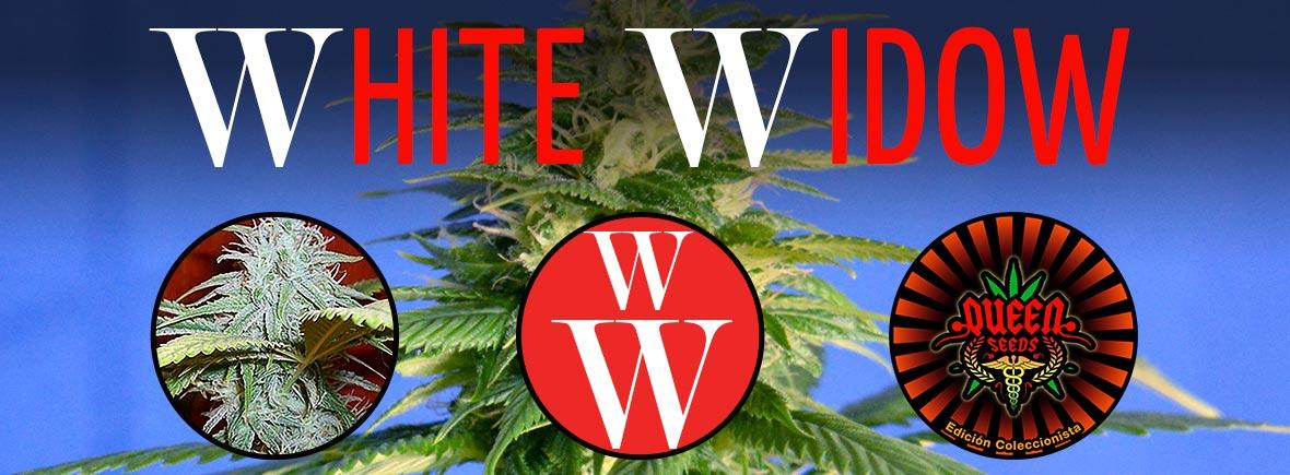 White Widow - Queen Seeds