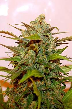 Photo Bazooka de Queen Seeds