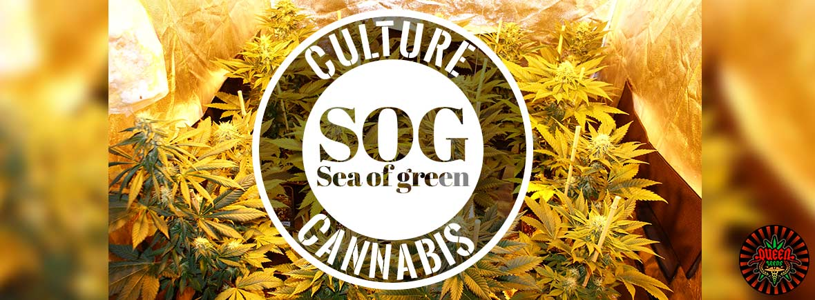 SOG Sea of green
