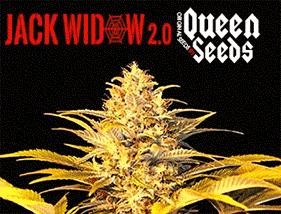 Jack Widow 2.0 Queen Seeds