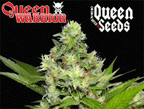 Queen Warrior, graine de cannabis Queen Seeds