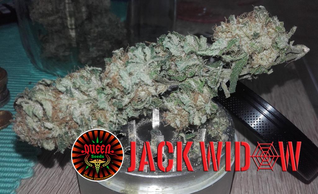 Day 126 week 8 jack logo