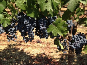 napa-grapes