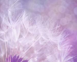 dandelion-923221_1280