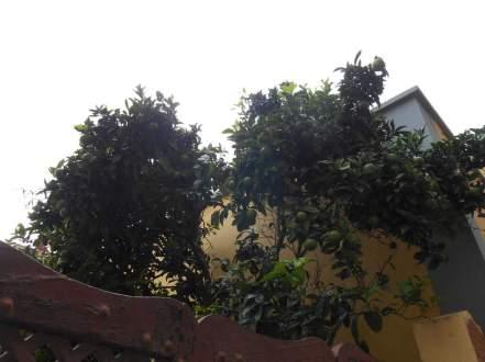 Oranger (La Laguna)