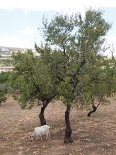 Chèvre agrigente (Agrigente)