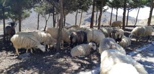 Moutons sauvages (Crète)