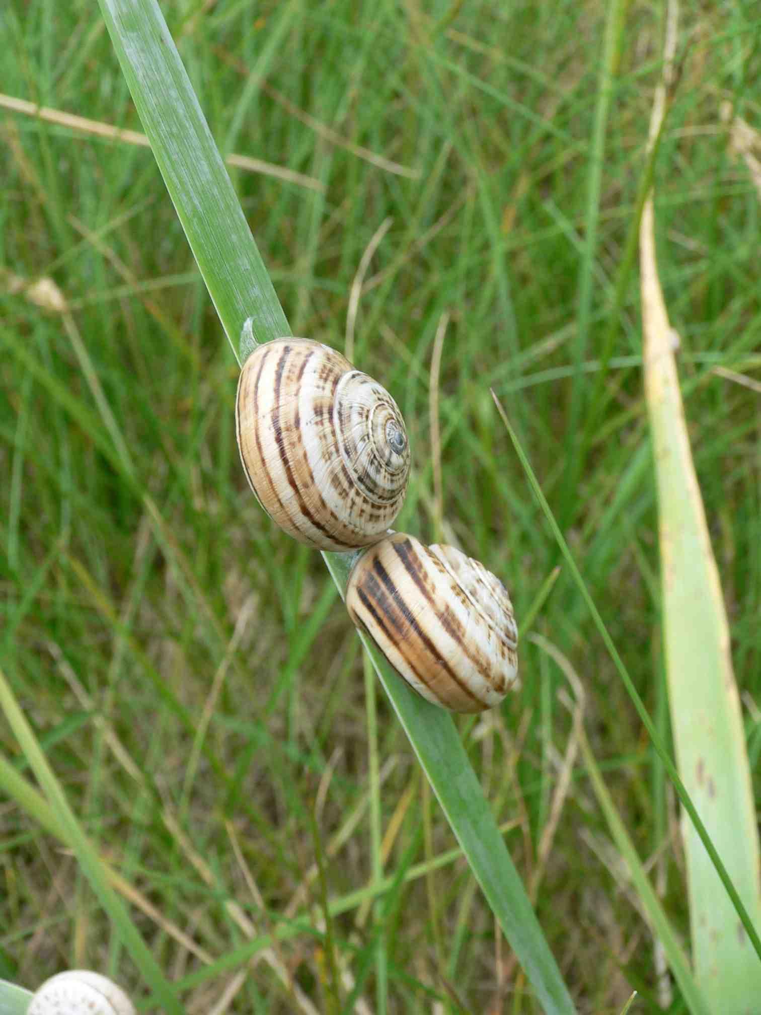 Qu'est Ce Qui Attire Les Escargots : qu'est, attire, escargots, L'escargot, Dunes, Animal