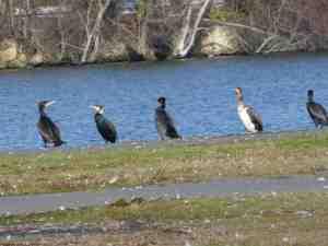 Difference Grands cormorans atlantique et continental