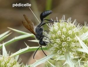 pédicelle chez un Sphecidae