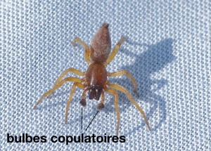 Bulbes copulatoires