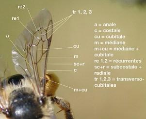 nervure de l'aile d'une andrène