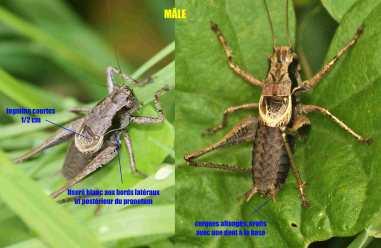 Pholidoptera grisoaptera mâle
