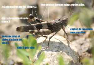 oedipoda caerulescens05