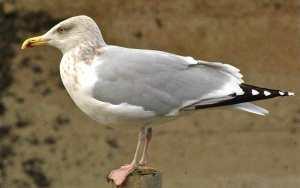goélnad argenté - plumage internuptial