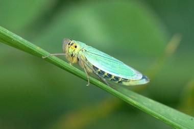 Cicadella viridis (femelle)