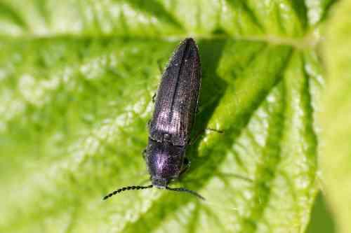 Cidnopus pilosus