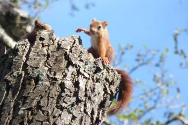 jeunes écureuils roux