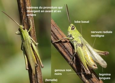 chorthippus-dorsatus