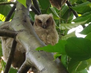 Tropical Screech Owlet