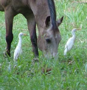 Egrets Feeding