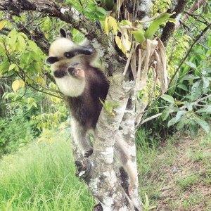 Lucy the tamandua