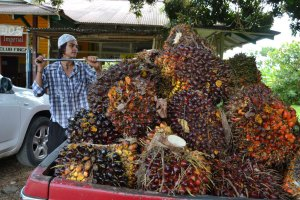 Oil Palm worker