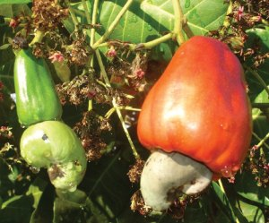 Cashew fruit with external seed