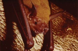 Noctilio leporinus - Fishing bat known as the Bulldog bat