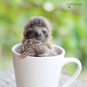 Baby sloth in a coffee cup