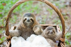 2 rescued baby sloths