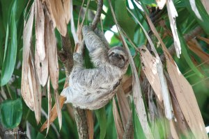An adult female wild 3-toed sloth eating near the soft release site.