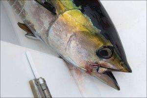 Tuna caught with Jackpot Sportfishing