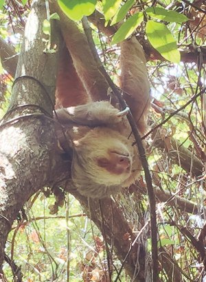 2-toed sloth in a tree