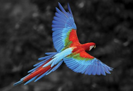 Scarlet macaw flying