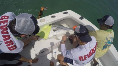 Roosterfish electronic tagging