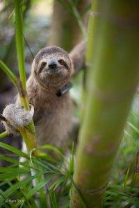 Wild sloth