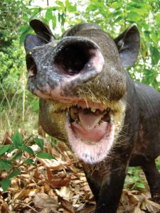 Tapir close-up