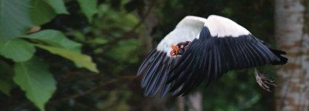King Vulture flying