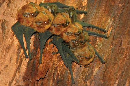 Group of bats
