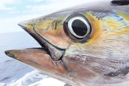 Close-up of tuna's head