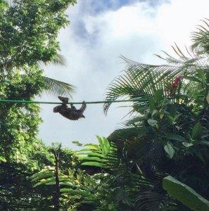 Sloth on rope bridge
