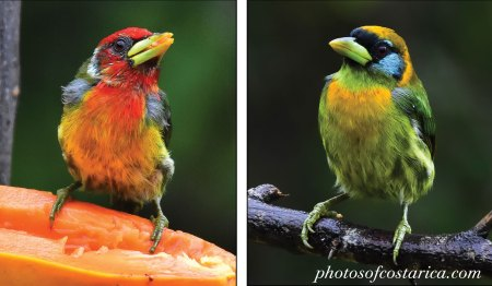 Male and Female Red-Headed Barbet
