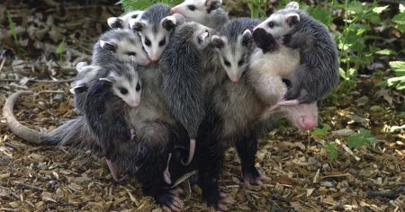 Opossum mother carrying babies